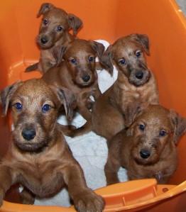 puppies-sacramento-irish-terrier-northern-california-pg-5.jpg