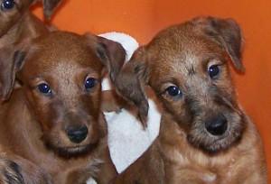 sacramento-irish-terrier-puppies-northern-california-pg-51.jpg