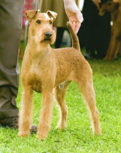 sacramento-irish-terrier-northern-california-aidan-3