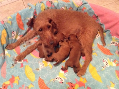 sacramento-irish-terrier-northern-california-pg-3