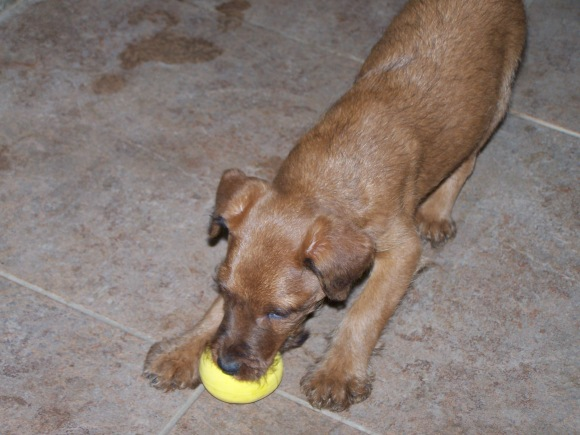 sacramento-irish-terrier-northern-california-pg-6